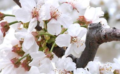 Tras las lluvias llega una semana ideal para ver la floración del Jerte