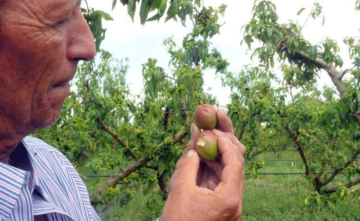 Daños causados en los cultivos de Santa Amalia y Arroyo de San Serván por las últimas granizadas