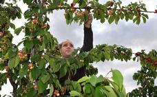 Ciudadanos insta a la Junta a dar una solución a los cereceros del Jerte
