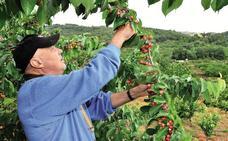Asaja pide retirar parte de la producción de cereza por los bajos precios que cobran los agricultores