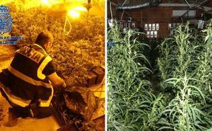Siete detenidos y 1.600 plantas de marihuana intervenidas en Mérida