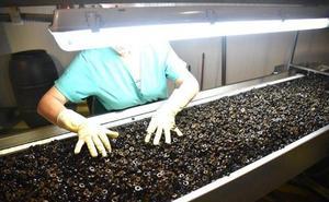 Bruselas trata hoy los aranceles a la aceituna negra española en Estados Unidos