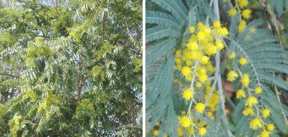 Dos manuales extremeños para evitar la propagación del ailanto y la mimosa