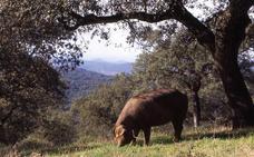 La feria de Segura de León potenciará la carne de ternera y la de cerdo