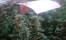 Dos detenidos en Mérida con 130 plantas de marihuana en su domicilio