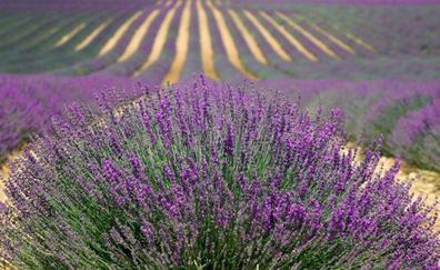 La Alcarria, comarca de miel y campos de lavanda
