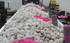 La producción de la campaña del ajo será un 15% inferior por el frío