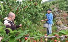 Podemos pide retirar del mercado parte de la cosecha de cerezas para estabilizar los precios