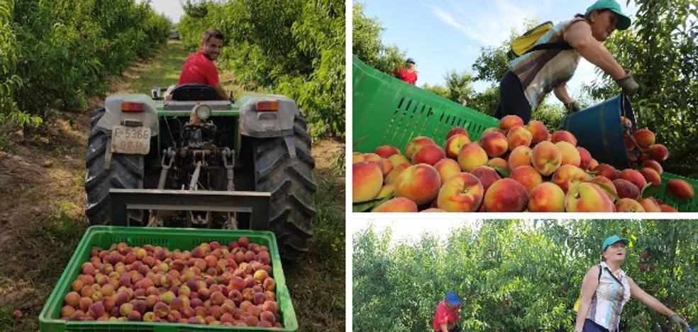La campaña de la fruta más complicada en el último trienio en Extremadura