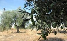 La producción de aceite de oliva en la región supera las 73.000 toneladas