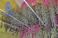 La Policía Nacional detiene en Mérida a tres personas e interviene 643 plantas de marihuana