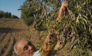 UPA reclama medidas ante los aranceles a la aceituna negra