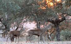 El Patronato de Monfragüe analiza el programa de caza selectiva para el control de ciervos y jabalíes