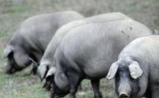 Más de un millar de ganaderos claman contra las incoherencias de la norma de calidad del ibérico