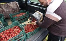 Refugiados de Siria y Ucrania logran un empleo en la campaña de cereza del Jerte