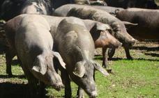 Los promotores del matadero de ibérico prefieren Alconera