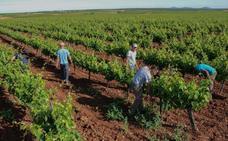 La producción de uva aumentará un 20% y su calidad será excelente