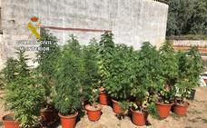 Cuatro detenidos por cultivo y tráfico de marihuana en el Valle del Alagón