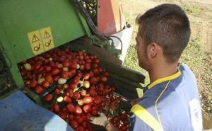 Las cooperativas prevén un 10% menos de producción de tomate esta campaña