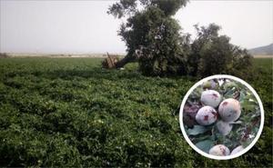 La tormenta del pasado viernes afectó a 2.600 hectáreas de herbáceos, tomate y fruta