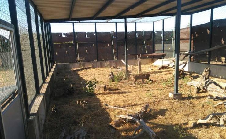 Traslado de los linces desde el Algarve hasta el centro de cría de Granadilla
