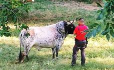 Un toro muerto en Coria en 2016 'resucita' en un prado de Navarra
