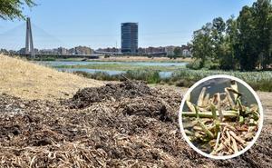 Los vecinos de Badajoz piden que retiren los montones de camalote de las orillas