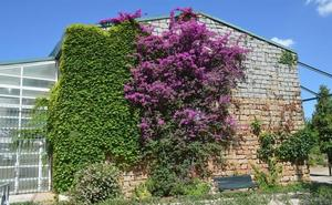 La Buganvilla, flor del mes para la divulgación de la riqueza natural