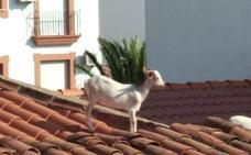 Una cabra rescatada de un tejado en Almendralejo