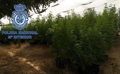 El fuerte olor a marihuana ayuda a desmantelar una plantación en la Montaña de Cáceres