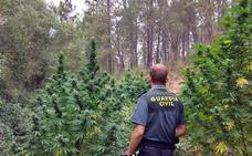 Dos investigados en La Codosera y Quintana por cultivar plantaciones de marihuana