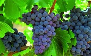 La cosecha de uva será «excelente y de alto valor enológico»