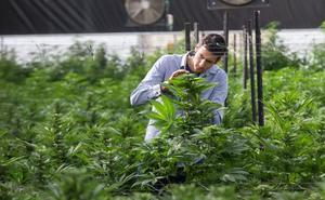 El entorno de Alqueva despierta el interés de cultivadores de cannabis