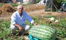 Una sandía de 92 kilos en Villanueva, la más grande cultivada en España