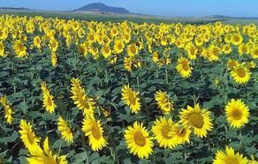 La producción de girasol crece un 30%, con 13,5 millones de kilos