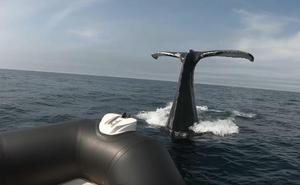 Una ballena golpea a un bote inflable con turistas