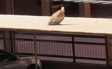 Rescatan a un buitre que se despistó por los tejados de Cáceres