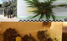 La Guardia Civil desmantela cuatro plantaciones de marihuana en la provincia de Cáceres