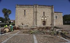 El picudo llega a palmeras de Mérida y obliga a talar una de la Antigua