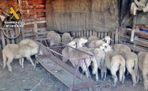 Dos detenidos en Navalvillar por el robo de 80 ovejas en una finca de Villanueva
