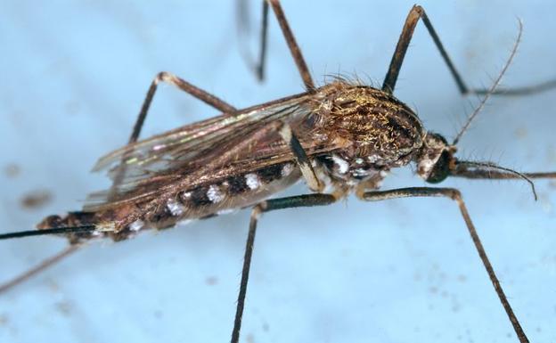 Detectan por primera vez el mosquito tigre en dos municipios de Extremadura