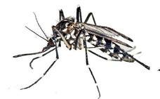 Los veterinarios piden un centro experto contra el mosquito tigre
