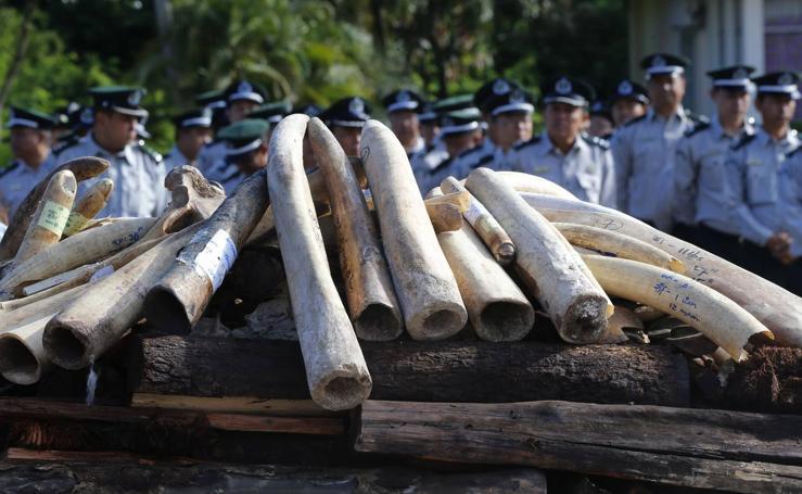 Ceremonia de destrucción de marfil de elefante confiscado y partes de vida silvestre en Birmania