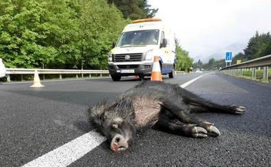 Dos heridos en el choque de un turismo con varios jabalíes cerca de Cáceres