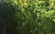 Intervienen 90 kilos de marihuana en cinco operaciones realizadas en la provincia de Cáceres