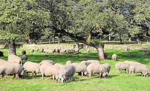 La montanera se retrasa en una campaña con menos cerdos y cantidad de bellota