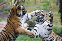 Cachorros de tigre Melati y Mya se mudan al Zoológico Nacional de Canberra
