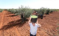 Extremadura prevé recoger 80.000 toneladas de aceituna