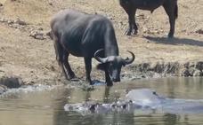 ¡Fuera búfalos!