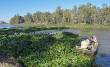 Camalote en el entorno de 'La Pesquera' en Badajoz